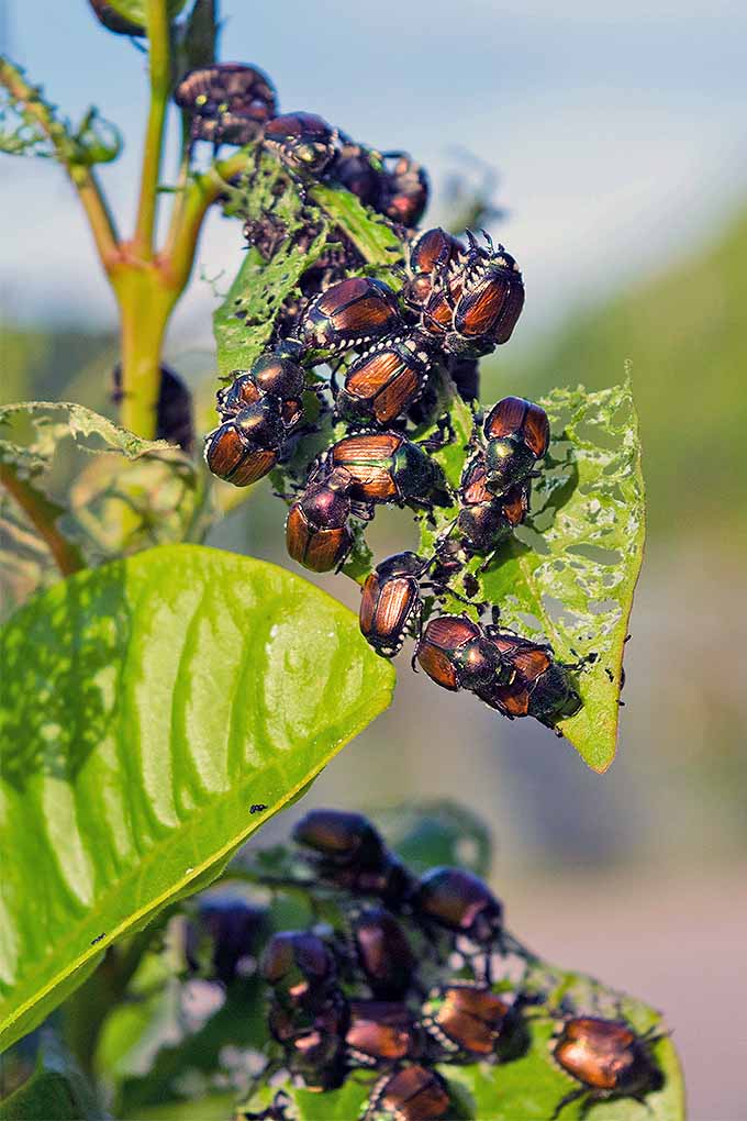Many Japanese beetles clustered on a plant, eager for a meal.