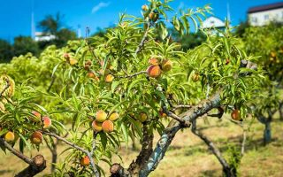 How to grow peach trees | GardenersPath.com