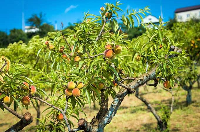 How to grow peach trees | GardenersPath.com