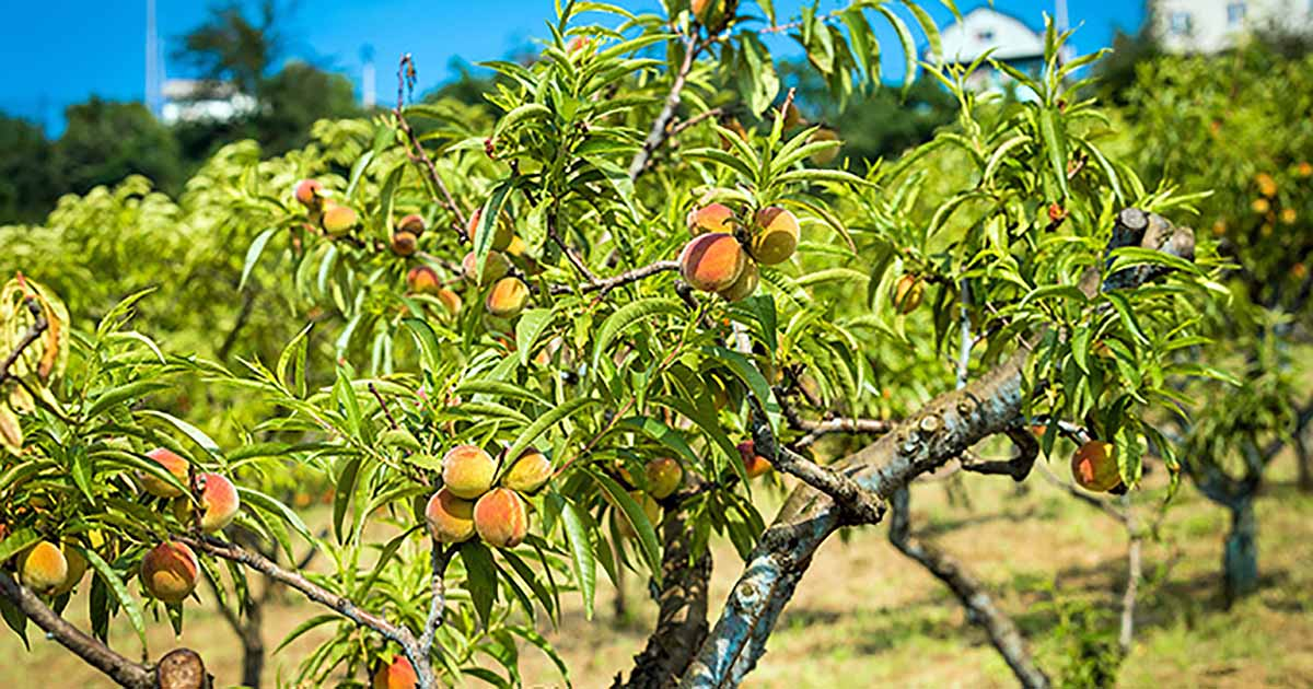 Give The Gift Of Fruit How To Grow Peach Trees