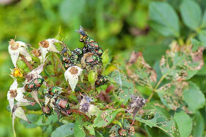 Tips for preventing Japanese beetles from damaging edible plants and ornamentals in the garden.