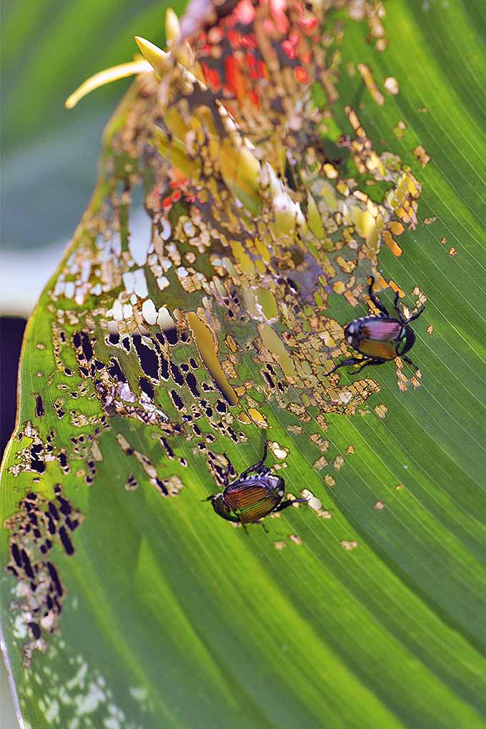 Japanese beetles with damage foliage in the garden. | GardenersPath.com