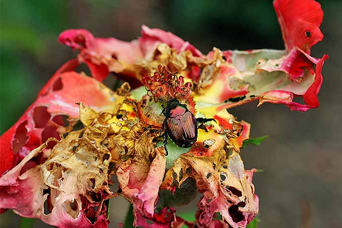 Popillia japonica will eat your rose plants. | GardenersPath.com