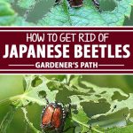 A collage of photos showing different views of Japanese beetles.