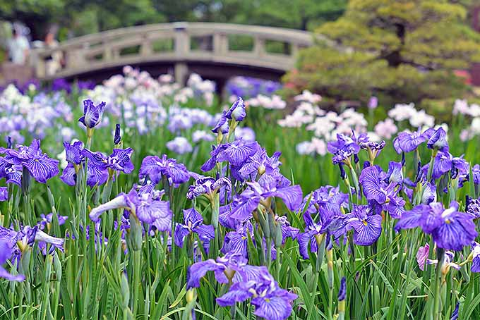 Japanese irises may be to blame for the introduction of Popillia japonica to the US.