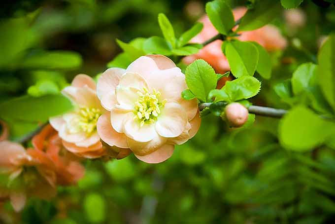 Blossoming peach tree | GardenersPath.com
