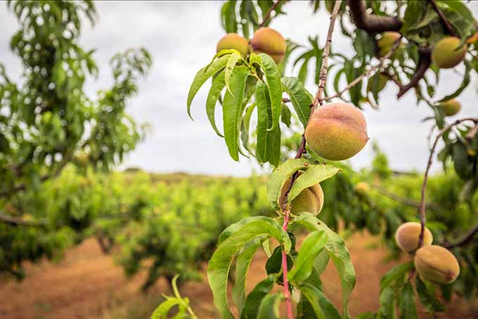 Peaches growing at an orchard | GardenersPath.com