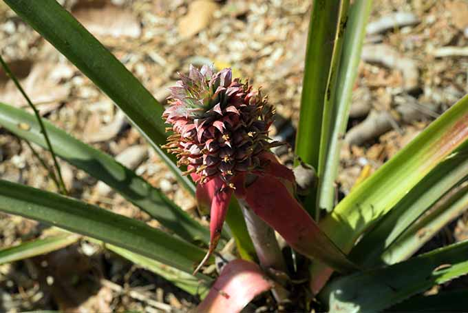 A pineapple flower is beginning to bloom with bright pink blossoms. The soon-to-be fruit sits atop a long, narrow, vertical stem. The green leaves of the plant radiate out in all directions from the center.