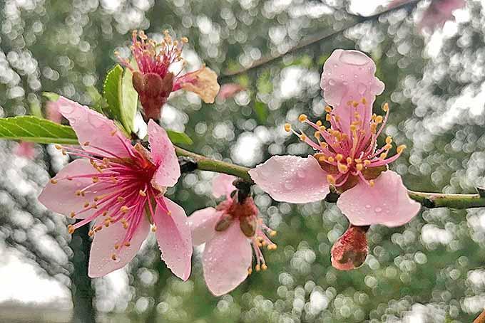 Pink peach blossoms | GardenersPath.com