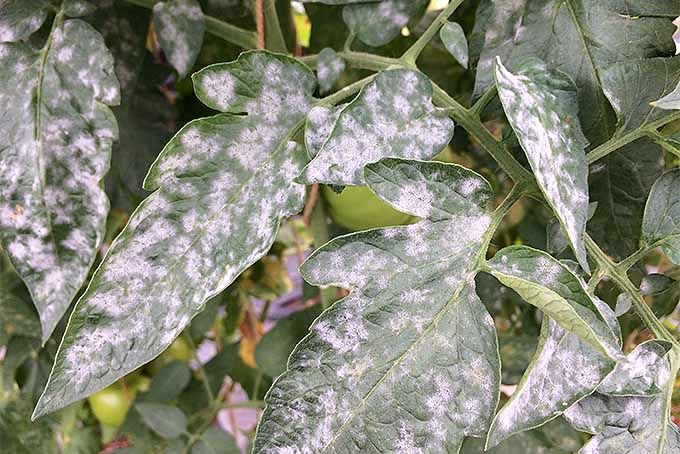 Powdery mildew is a common problem on tomatoes, astilbe, and other plants. | GardenersPath.com