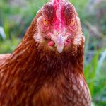 A red domestic chicken stares directly into the camera with its yellowish-orange eyes. The rust colored feathers of the chicken match the red comb on top of the chicken's head. Grass can be seen in the background.