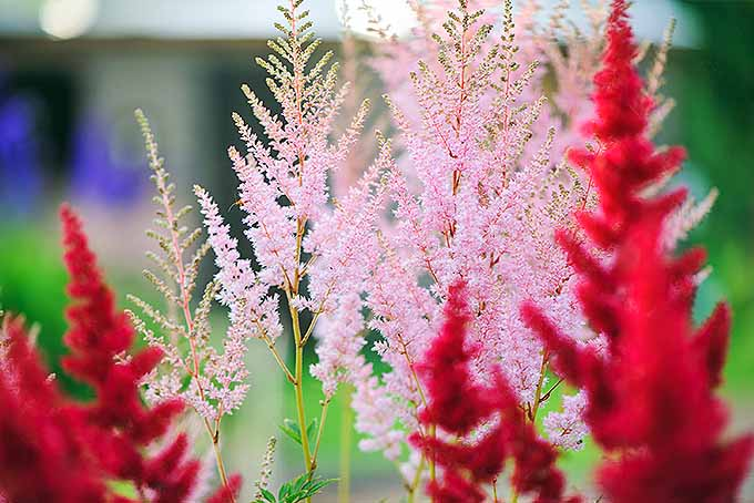 Red and pale pink astilbe. | GardenersPath.com