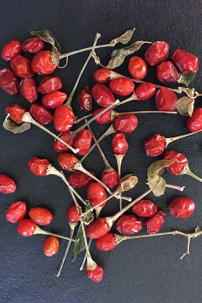 Chili pepper plants tend to be plentiful, but this homegrown crop is perfect for dehydrating (and dried chilies make a great gift)! Read more now on Gardener's Path, or Pin It for later.
