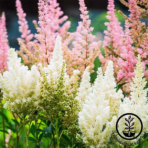 'Showstar Mix' pink and white astilbe | GardenersPath.com