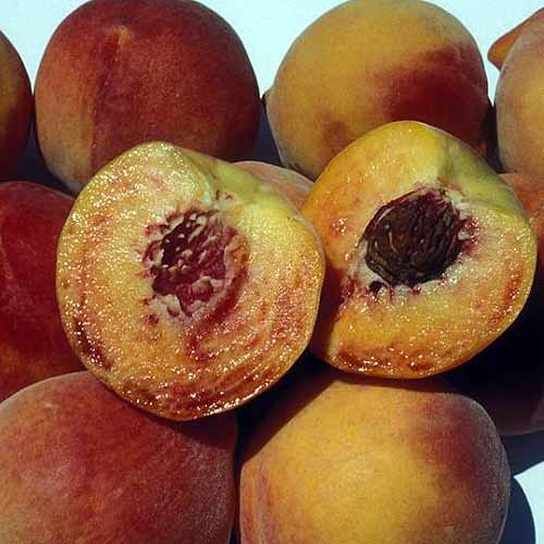 Sliced Honey Babe Peach | GardenersPath.com