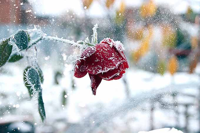 A rose facing the chill of the first snow | GardenersPath.com