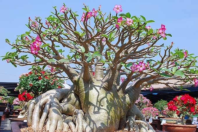 The desert rose in bloom | GardenersPath.com
