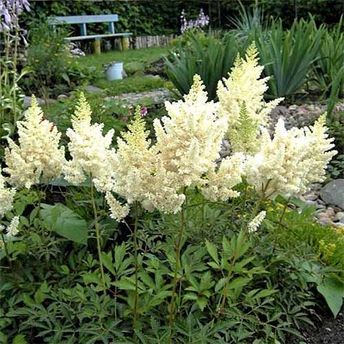 'Visions in White' Astilbe | GardenersPath.com