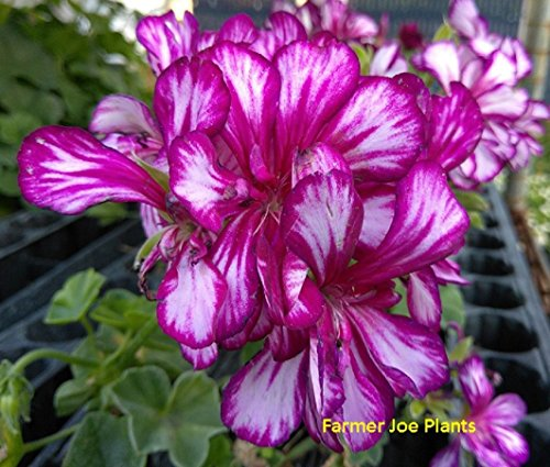 How to grow ivy geraniums for hanging baskets gardeners path save mightylinksfo