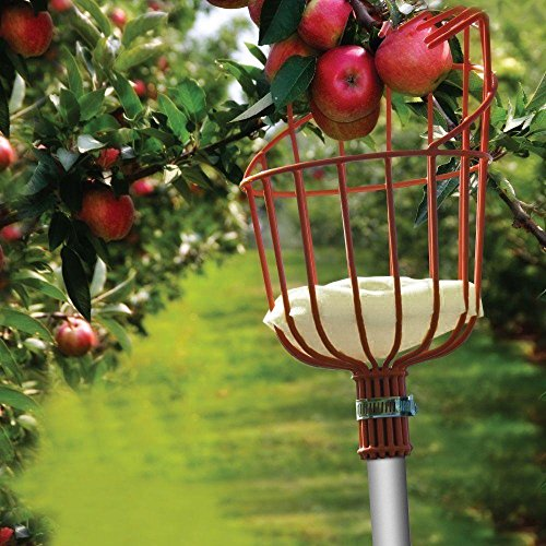 How To Grow Apple Trees At Home Gardener S Path