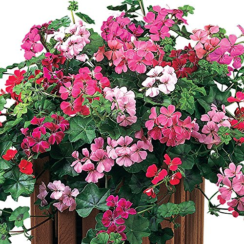 How to Grow Ivy Geraniums for Hanging Baskets | Gardener's Path