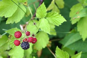 A-Foraging We Will Go: Berry Edition