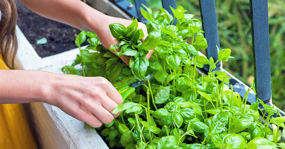 How To Grow Basil In Your Herb Garden