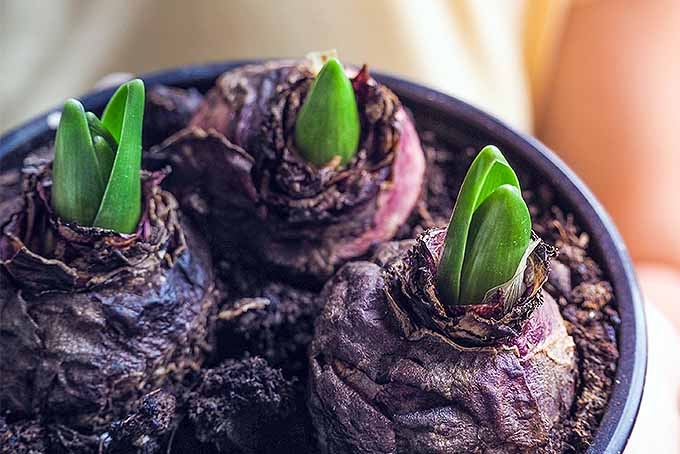 Three hyacinth bulbs planted in a black pot, with green shoots just starting to emerge from the tops of each.