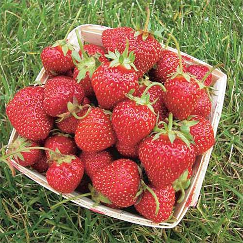 Basket full of Allstar strawberries on a green lawn.