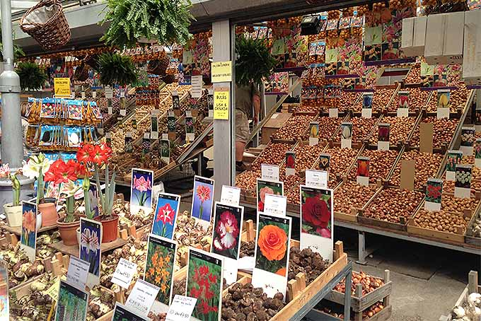 A flower market stall in Amsterdam in the Netherlands, with elevated display boxes of amaryllis and various other types of flower bulbs, with illustrated signs displaying photos of the flowers that they will grow into if planted.