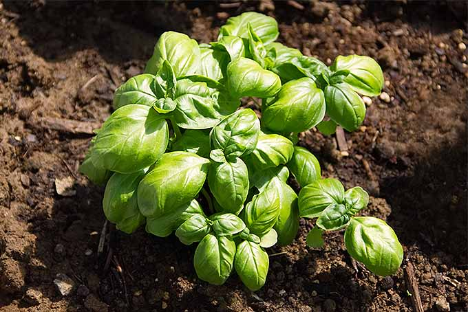 A basil plant growing in brown soil in the sunshine.