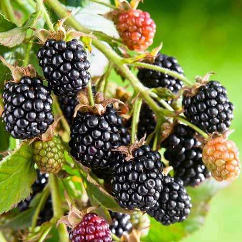 Black satin blackberries growing on the end of a small branch are in various stages of development. The black fruits are ready to be picked and mature, while those that are red, yellow or green are not yet ready to be eaten.