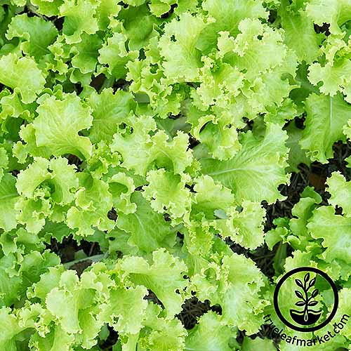 A number of black seeded simpson lettuce plants are growing side by side. The bright green leaves have grown into many different shapes and are rough around the edges.