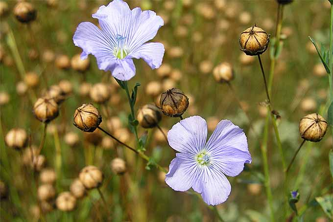 Two pale blue flax flowers with five petals and pale yellow centers, growing amongst many stems that have already finished blooming and have developed round, dry seed bolls.