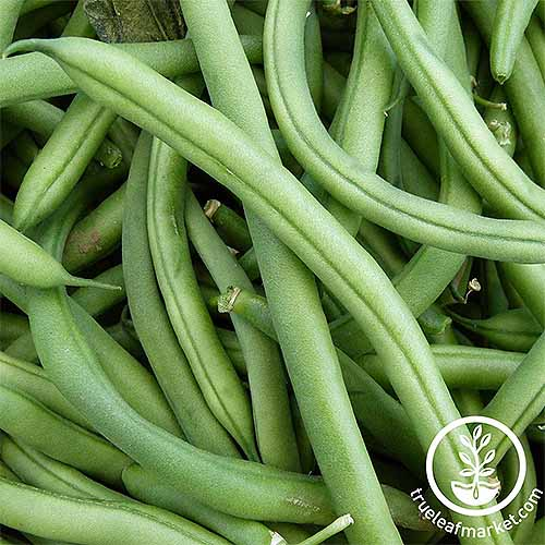 A cluster of 'Blue Lake' pole green beans. The vegetables are long and very smooth with only the crease in the middle disrupting the flow of light green.