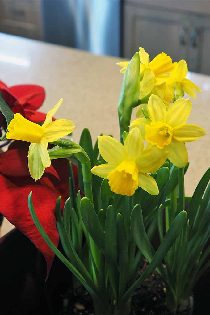 Vertical image of blooming yellow daffodils with green stems and blade-like leaves, growing in a container indoors next to a bright red poinsettia.