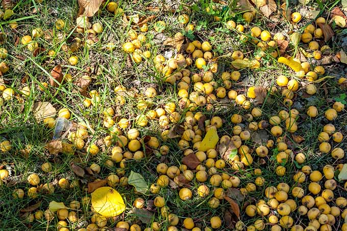The ground in the shade of a tree is littered with yellow cider apples. The fruit is densely packed amongst the grass and leaves with some of the fruit more ripe than others.