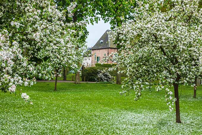 Four apple trees in a yard are in full bloom with their white blossoms hiding the branches behind. A pink house with a tall, steep roof can be seen in the background. The ground surrounding the trees is covered with the petals that have fallen off of the tree.