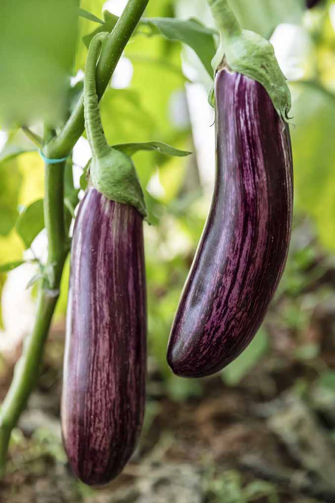 Two examples of Italian eggplant growing on the vine.
