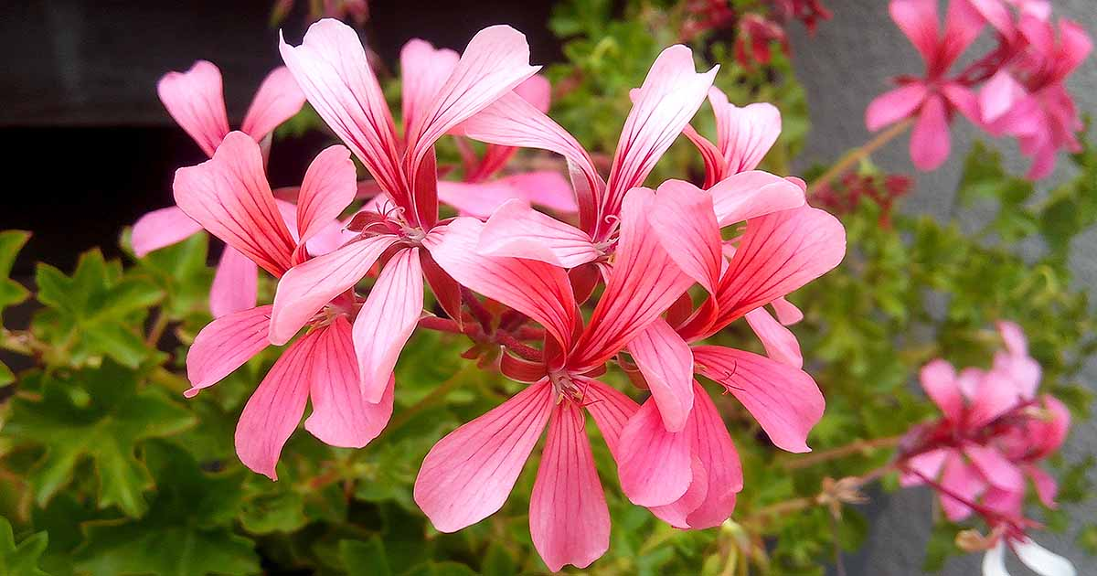 How To Grow Ivy Geraniums For Hanging Baskets Gardener S Path