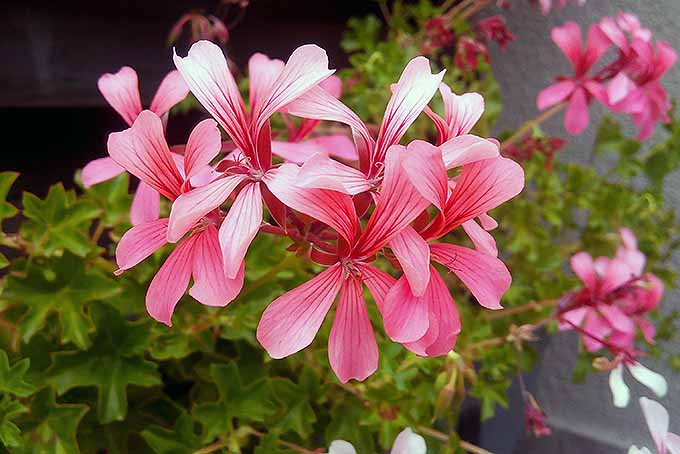 A cluster of bright pink flowers are in full bloom and reaching out and away from the leaves of a Pelargonium peltatum plant. More of the blossoms can be seen in the background.