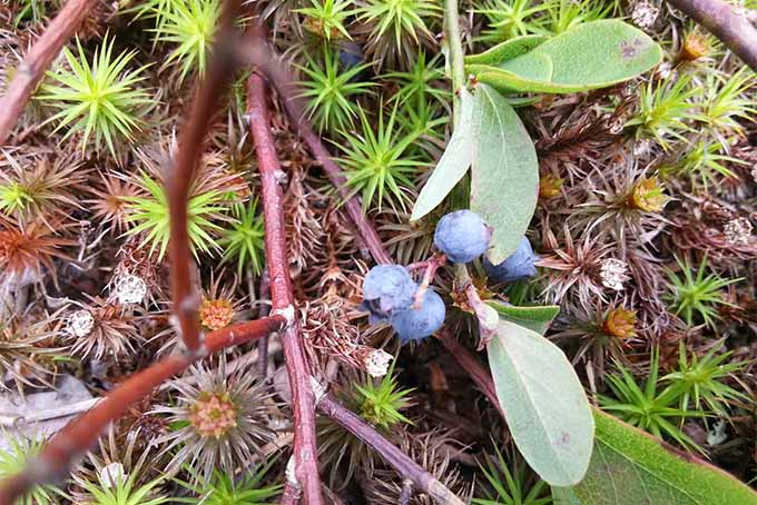 A small cluster of wild blueberries with narrow green leaves, growing close to the ground on reddish-brown branches, among mosses and other plants and leaf debris on the forest floor.