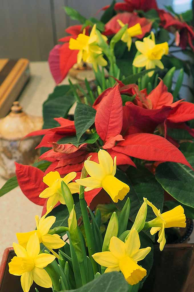 Vertical image of bright yellow daffodils with green stems and leaves growing in containers indoors alongside red poinsettias.