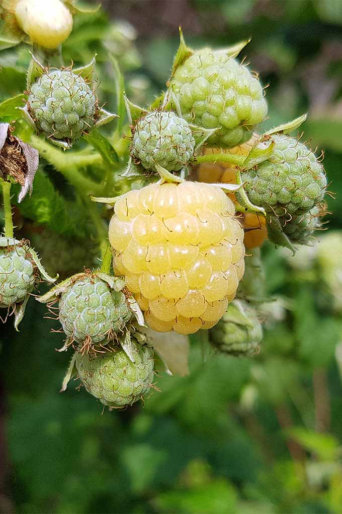 Closeup of one ripe golden raspberry with many small, green, immature berries surrounding it, with green foliage in shallow focus in the background.