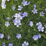 Linum usitatissimum takes up the frame. Attached on all sides to the plant are light purple, five petaled flowers. The blossoms contrast greatly to the dark green, narrow leaves.