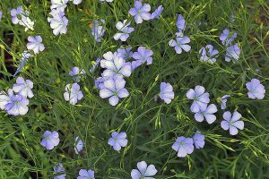How to Grow Flax for Flowers, Seeds, and Oil