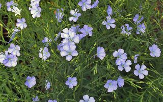 Flowers, Fabric, and Brainpower: The Many Benefits of Growing Your Own Flax