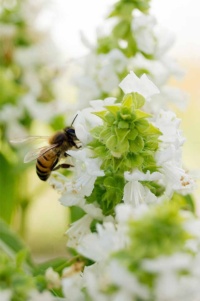 Vertical closeup image of a bee pollinating a white basil flower.