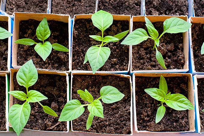 Top view of six bell pepper seedlings growing individually in cartons filled with brown soil, surrounded by more cartons with seedlings growing outside the frame.