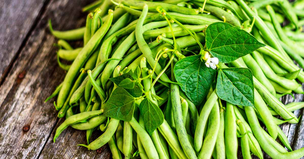 How to grow green beans for a win in the garden gardener for Indoor gardening green beans
